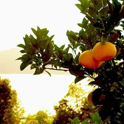 須崎市柑橘.jpg